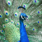 indian-blue-peacock-1180766